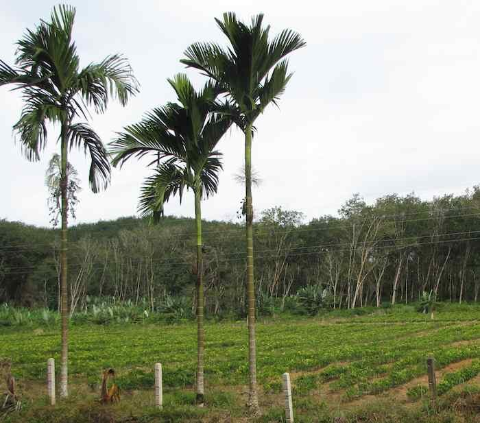 Palm trees, with rubber trees in the background